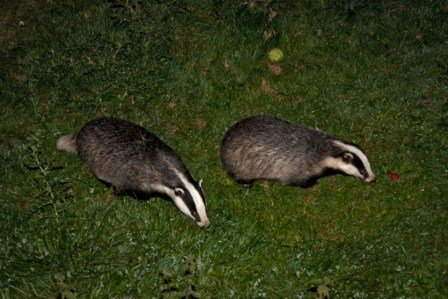 Foraging_badgers