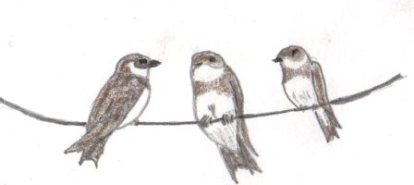 Sand Martin Sketch South Wales
