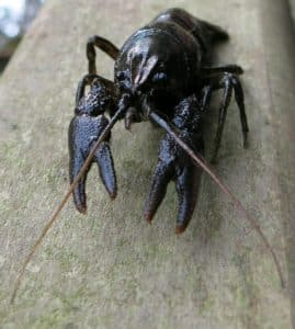 Crayfish survey wales