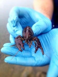 White-Clawed Crayfish Survey