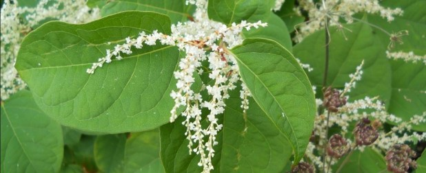 Japanese Knotweed Survey