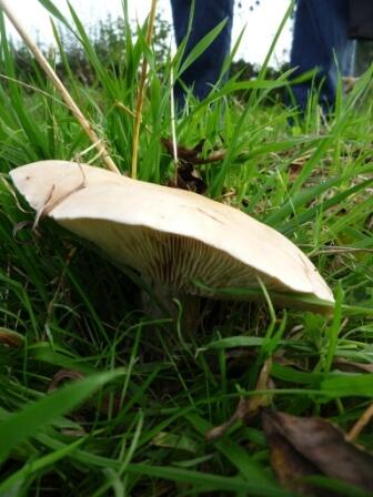 Field Blewit (Lepista saeva)