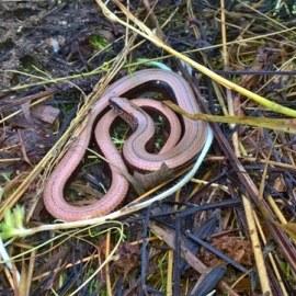 Reptile Survey Ledbury