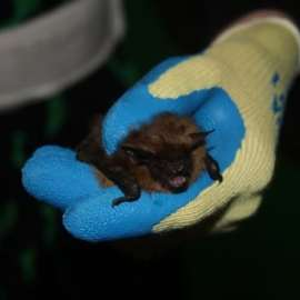 Bat being handled with gloves
