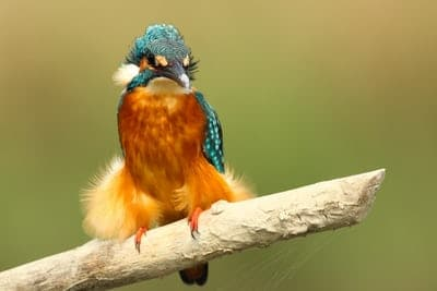 European Kingfisher perched on a branch