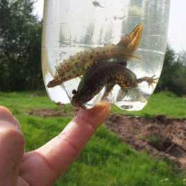 Great Crested Newt Survey Caerphilly
