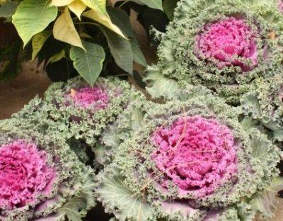 Fall garden cabbage