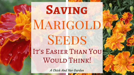 Save Your Own Marigold Seeds