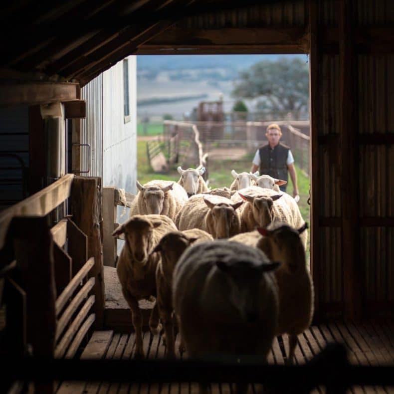Achmea sheep