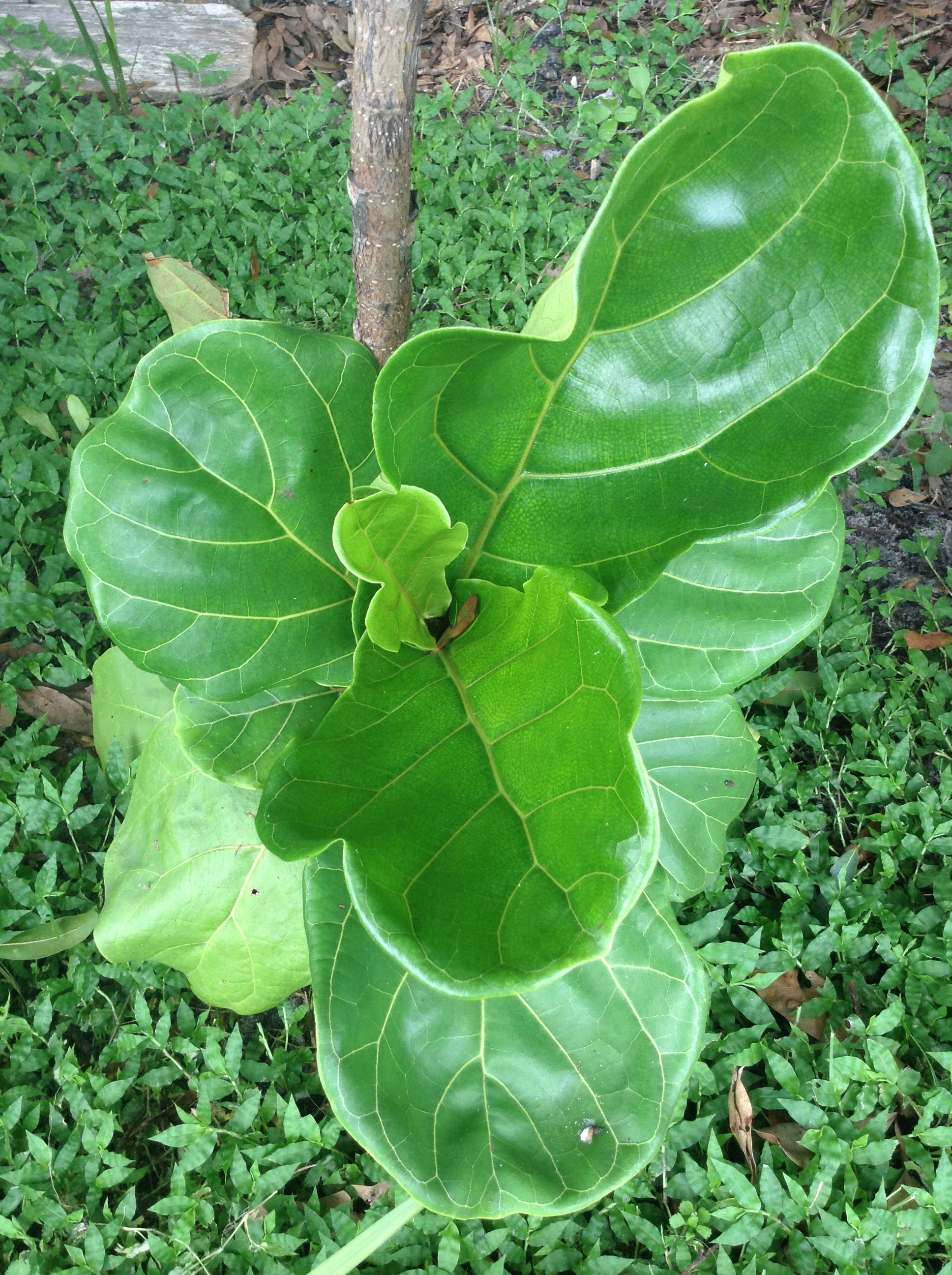 How to care for a Fiddle Leaf Fig Tree.