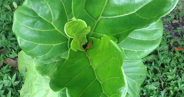 How to Care for a Fiddle Leaf Fig Part 2