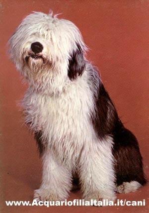https://i0.wp.com/www.acquariofiliaitalia.it/cani/photo_dog/bobtail.jpg