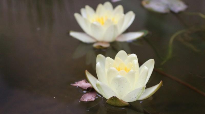 KOI – Pond cam