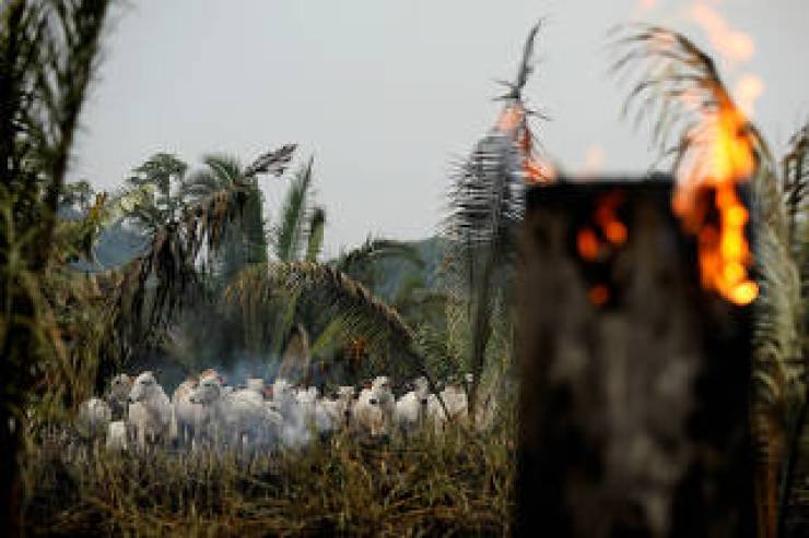 Gado em meio a queimada em Apuí
