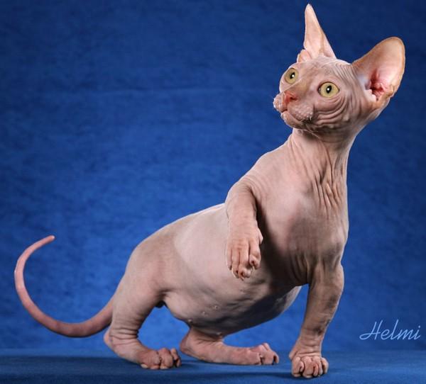 5 Espécie de gatos mais estranhos do mundo
