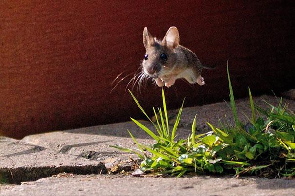rato pulando