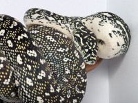 Pure diamond carpet pythons? - Reptile Forums