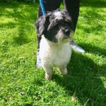 Bertie, Shih Tzu cross, Male