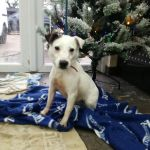 Macey, Female, 4, Jack Russell Terrier