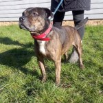 Daisy, 7 years old, Staffie, Female