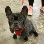 Mikhos, French Bulldog, Male, 2