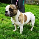 Bullseye, Frenchie cross Staff, Male, 5