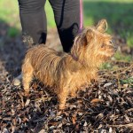 Lily, Yorkie cross, 6, Female