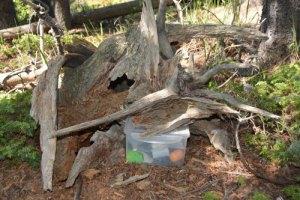 Geocache container hidden under a dead tree stump