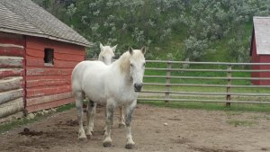 white horse standing in corral