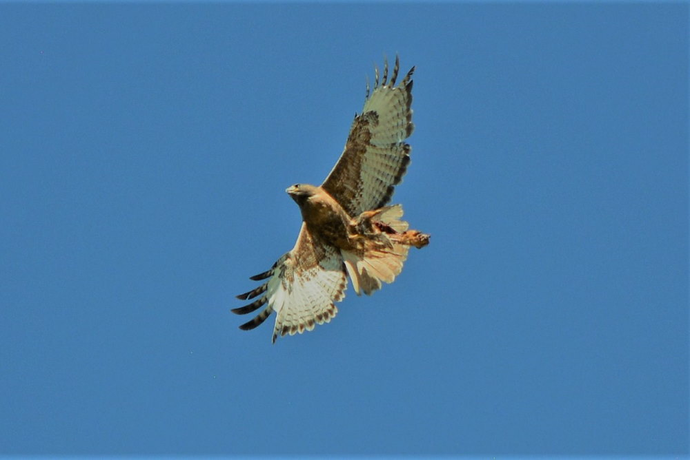 Red-tailed hawk holding gopher in talons