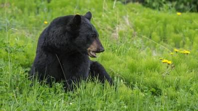 Wir sichten unseren ersten Schwarzbär...