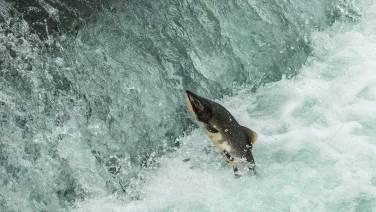 Die Lachse ziehen zu ihren Laichplätzen…