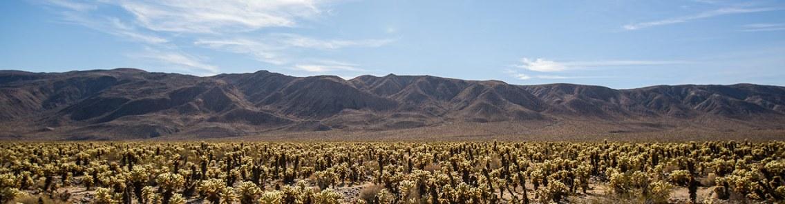 Cholla Kaktus Garten: tausende von Kakteen wachsen hier.