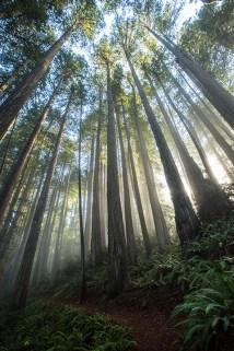 Redwoods: Mystische Stimmung auf der Abend-Wanderung.