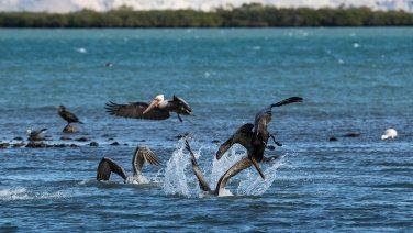 Meins, meins, meins! Wie Jagdbomber stürzen sich die Pelikane auf ihr Futter.