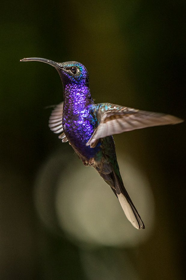 Kolibri in Monteverde.