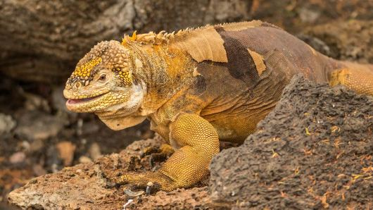 Cool, ein Land-Iguana.