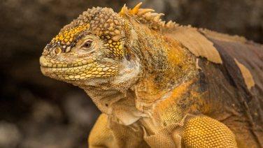 Und hier der Land-Iguana.