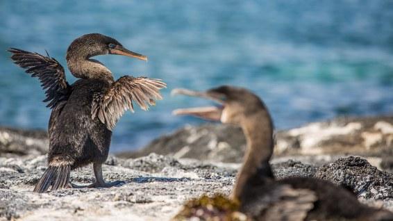 Ein flugunfähiger Kormoran trocknet seine Flügel.