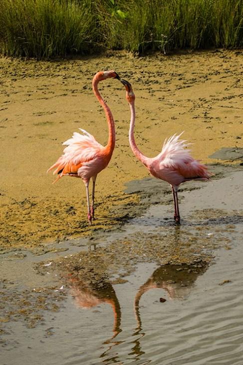 Balztanz der Flamingos.