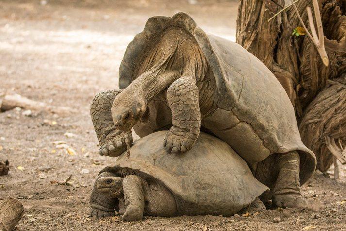 Die Riesenschildkröten sind bereits warm.