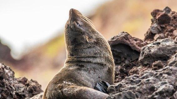 Ein Seelöwe sonnt sich auf den Klippen.
