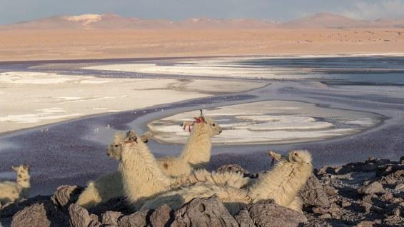 Am Abend legen sich die Tiere in den Windschatten... Die Nacht wird eisig-kalt werden.