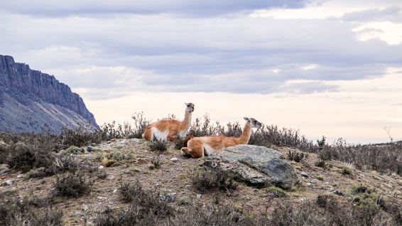Und mit diesen zwei Guanacos verabschieden wir uns vom Torres del Paine Nationalpark.