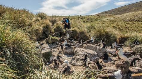 Zwischen uns Albatrossen lärmen quirlige Rockhopper-Pinguine.