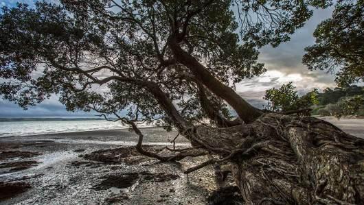 """Den hübschen """"Christmas-Tree"""" finden wir häufig an den Küsten der Nordinsel."""
