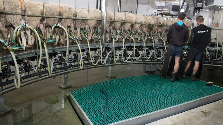 gea-sr-internal-sheep-and-goat-rotary-parlour-milking_tcm11-42327