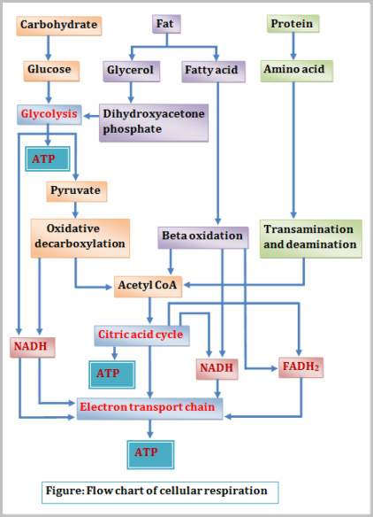 photosynthesis and cellular respiration cycle diagram 2003 honda vtx 1300 headlight wiring what is word & chemical equation – aerobic anaerobic | actforlibraries.org