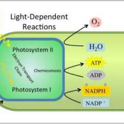 Light Reactions Photosystem Diagram Pull Switch Wiring Reaction Steps Photosynthesis With Examples And Videos