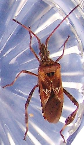 Bockkfer  Kfer Coleoptera bestimmen  ACTIAS